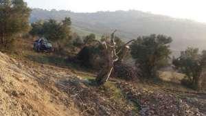 Pruned fig tree