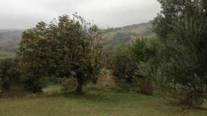 Overgrown fig tree