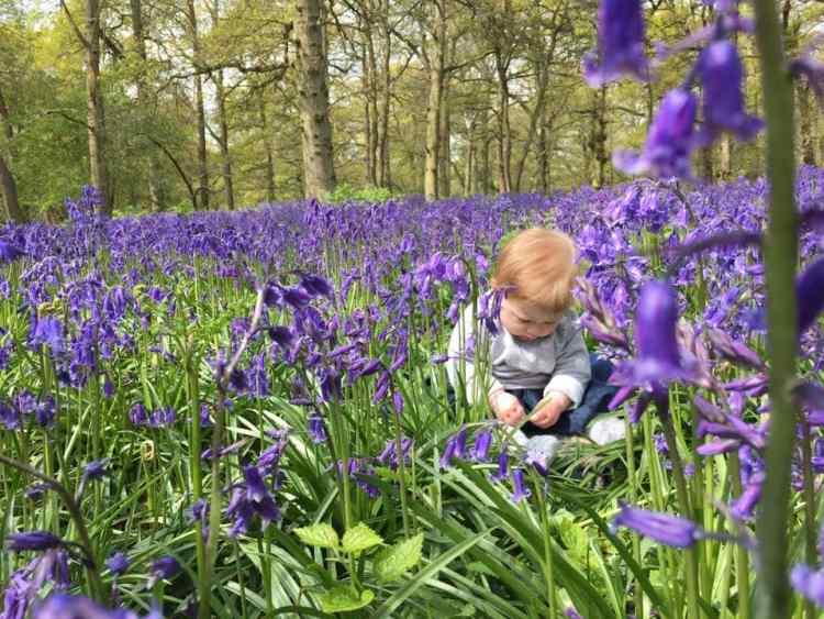 Blickling estate, Norfolk. National Trust Bluebells