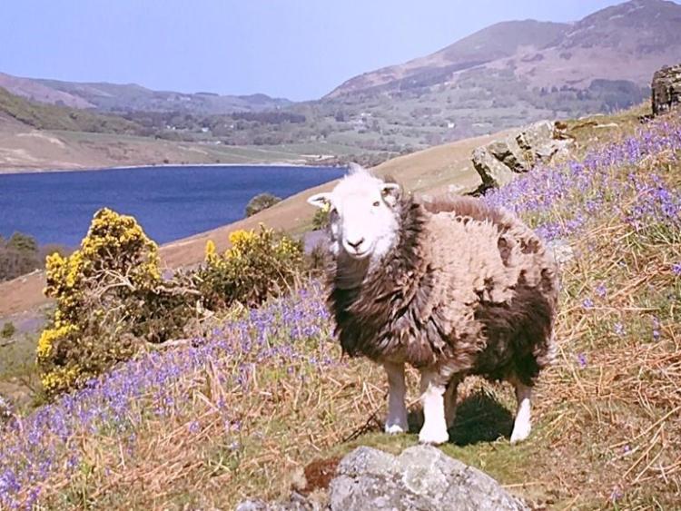 Rannerdale, Lake District Bluebells