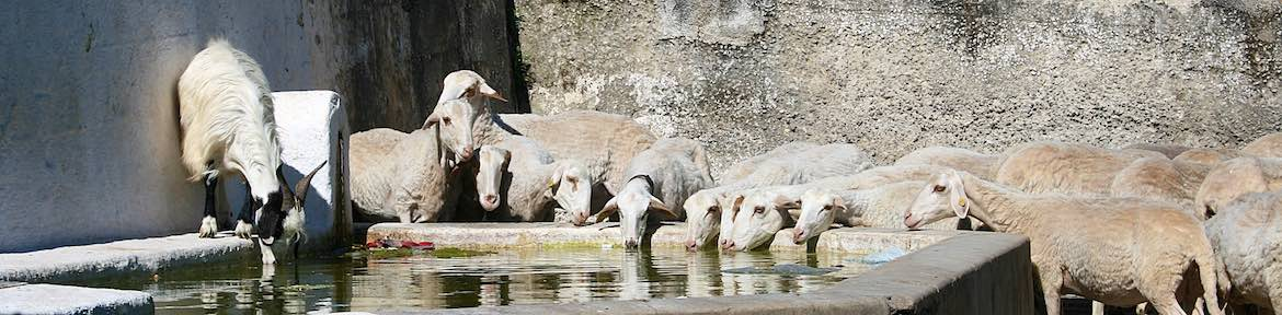 Goats at the fresh water well.