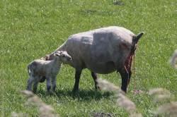 New spring lambs.