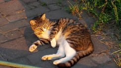 Tabby cat lounges in setting sun.