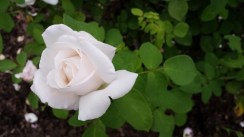 A white rose just openeing