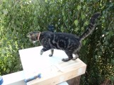 Tabby cat walks on newly painted porch trim