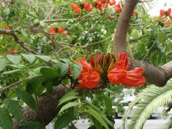 African tulip tree at Hemingway house in Key West, FL.