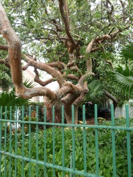Gumbo limbo tree at Little WHite House, Key West, FL