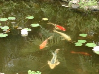 Four koi swim in lily pond