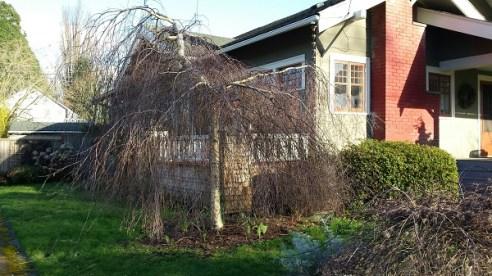Weeping birch growing wide.