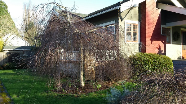 Weeping birch growing wide.