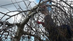 Man prunes a branch off a weeping birch.