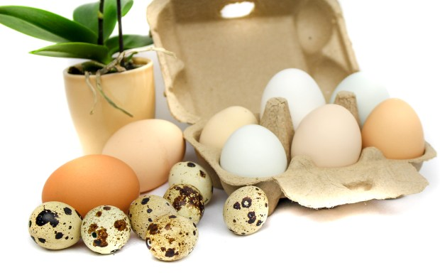 Natural easter eggs quail goose and chicken