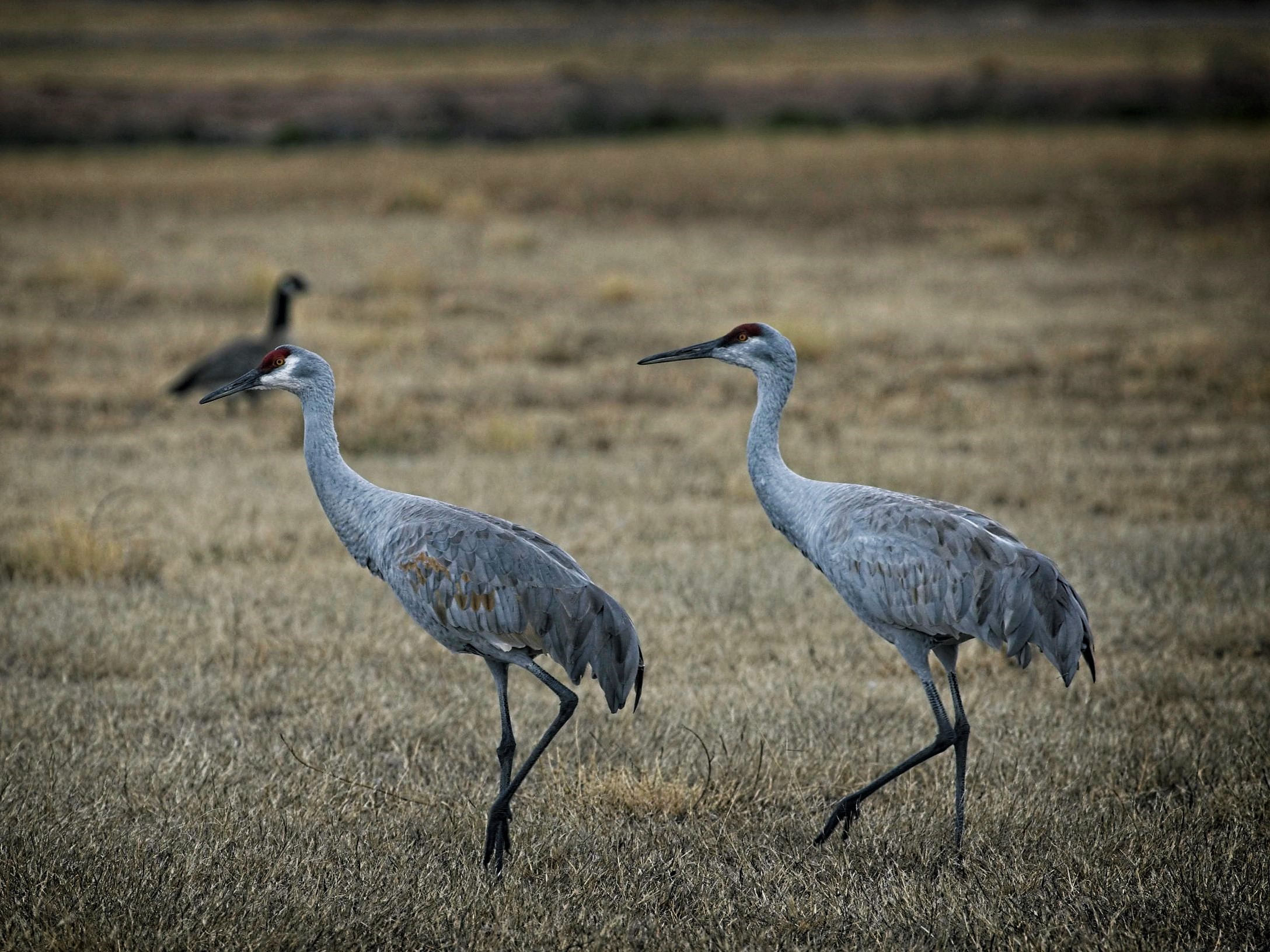 Sandhill Crane Walking Right In Front >> Travel Archives Our Downsized Life