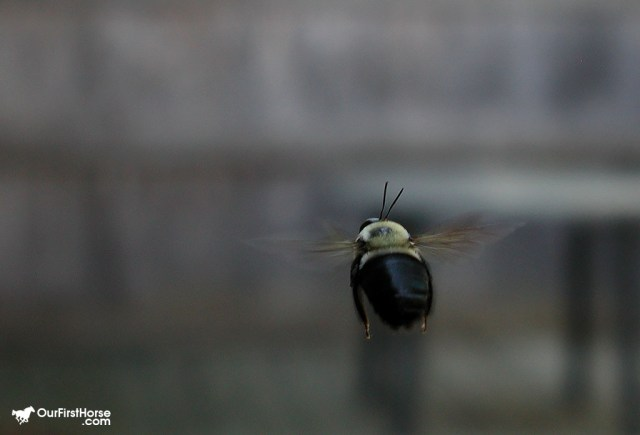 Carpenter bee closeup