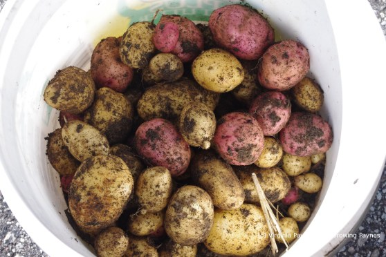 Potato harvest 5 2013