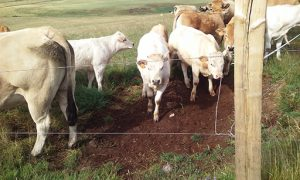 Day6Cattle