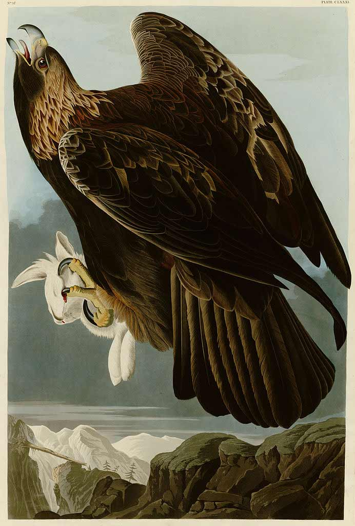 Audubon's Goldon Eagle