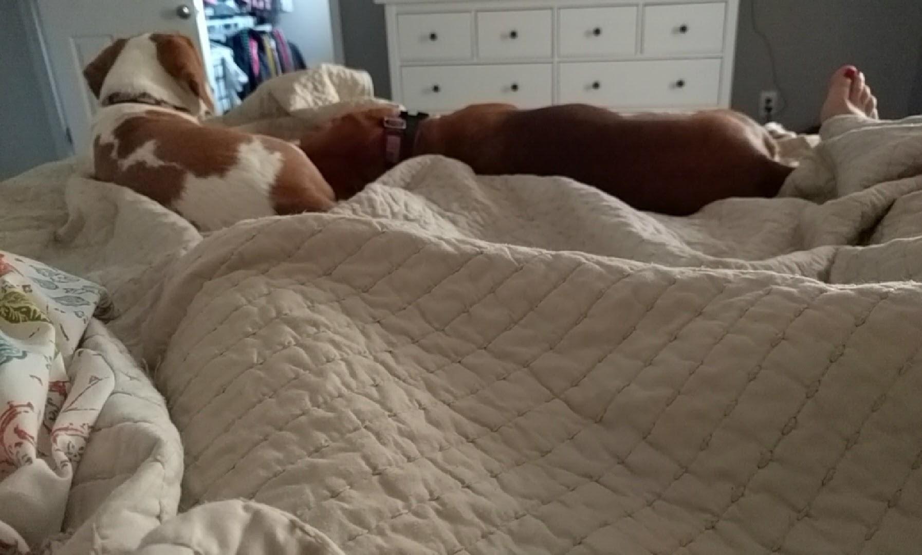 BeagleBandaids