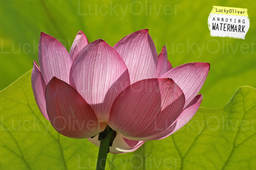 Lotus - Our National Flower