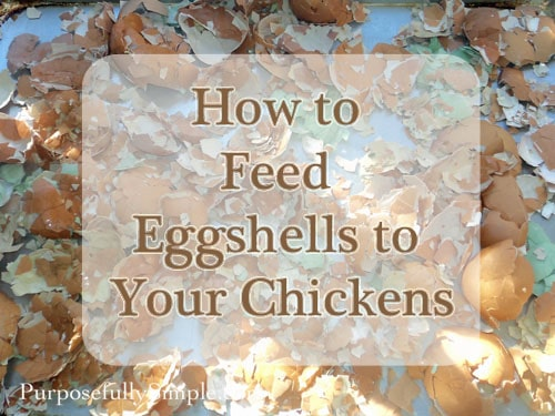 Feeding Eggshells to Chickens: How to Do It and Why You'd Want To