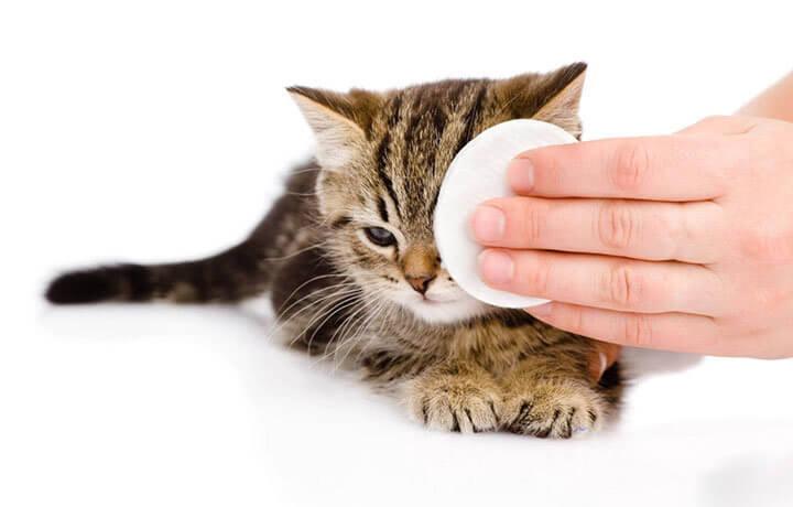 Cedera pada kelopak mata kucing