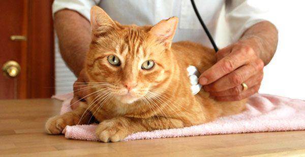 Kucing dengan penyakit ginjal mungkin makan dengan buruk.