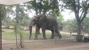 Elephant in the Letaba staff village of Kruger National Park