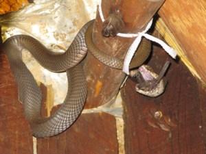 Cobra with a bat