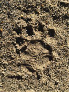 Porcupine tracks Letaba staff village KNP