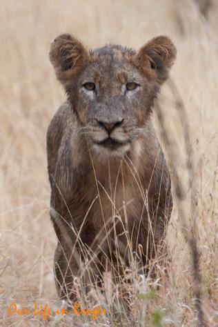 Wet Lion Cub