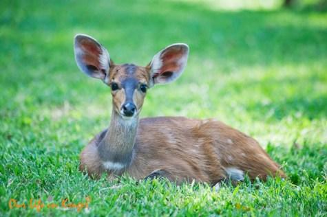 Baby Bushbuck in Letaba Restcamp