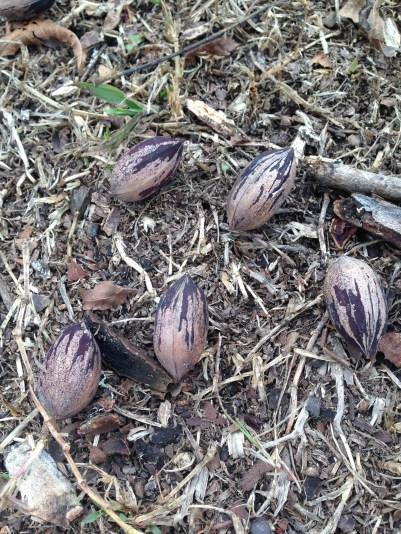 picking-pecans