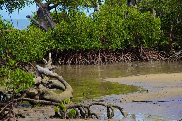 Mangrove marée basse