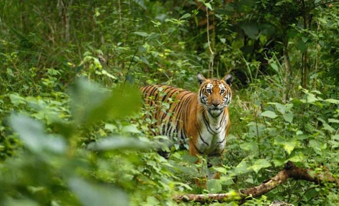 tiger in नागपूर