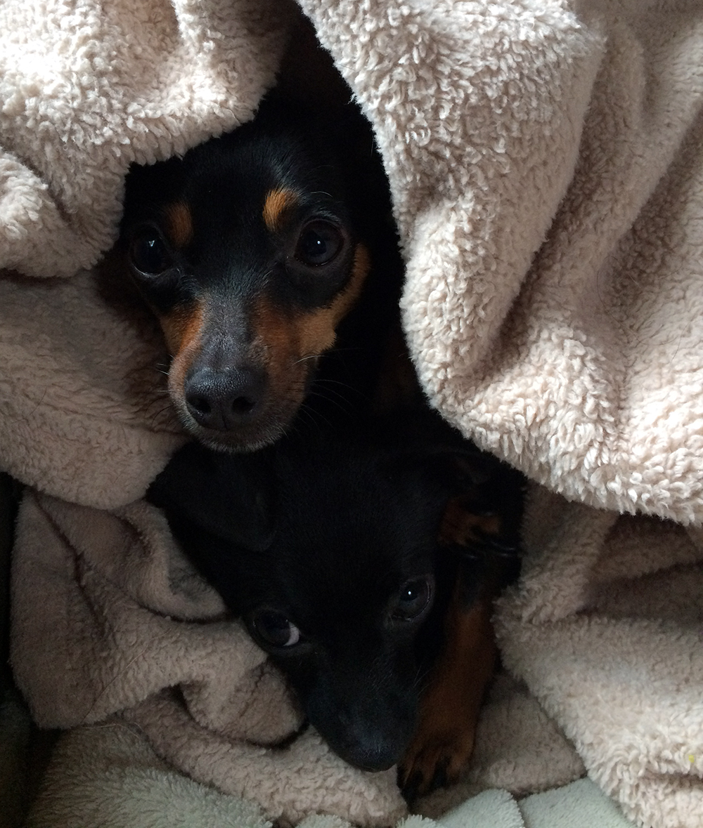 dogs in blanket