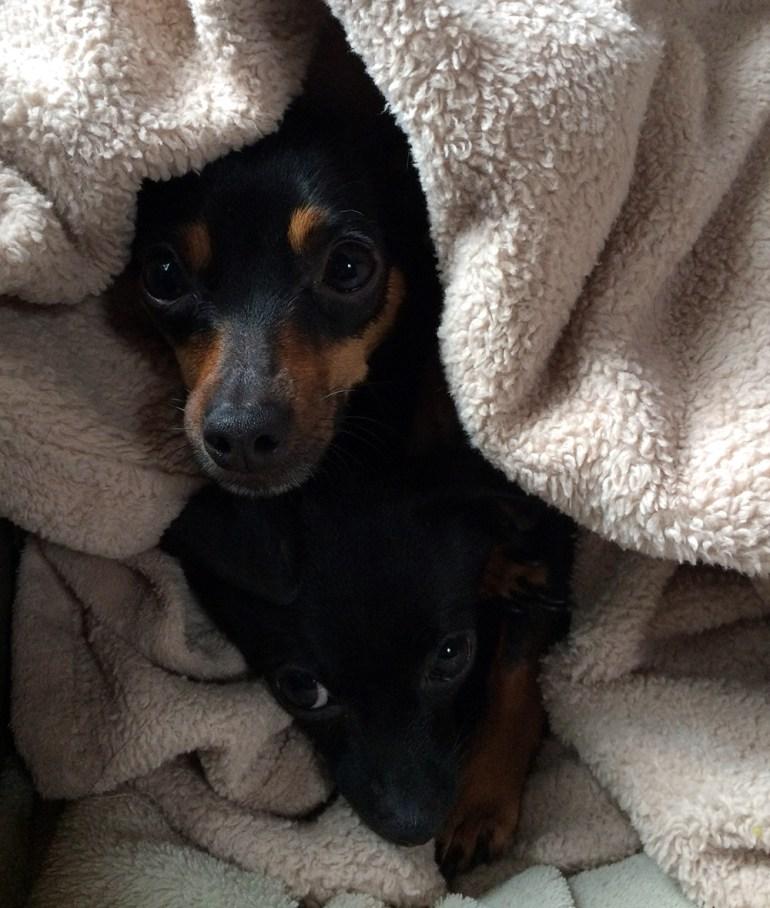dogs in blanket
