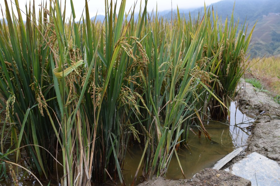 Close-up of rice still growing