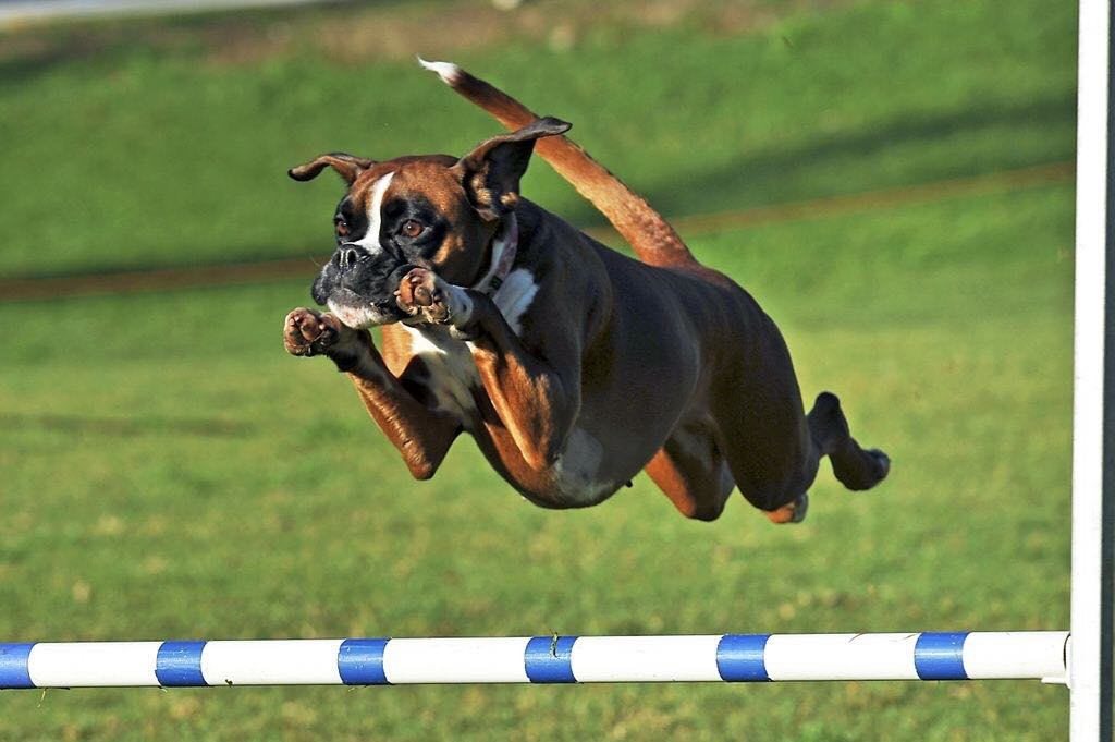 Osteopathy for the Agility Dog