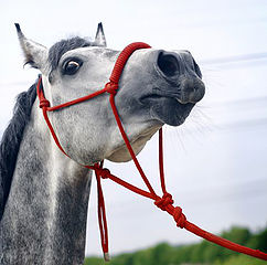 Osteopathy And The Stressed or Anxious Horse.