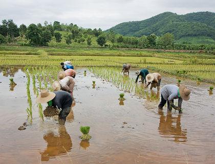 thai farmers in rice paddy