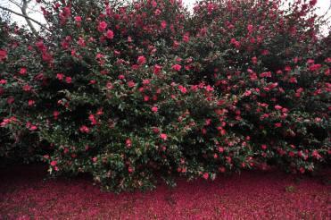 Camellia Hill 6