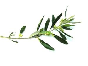 olive_branch (1)