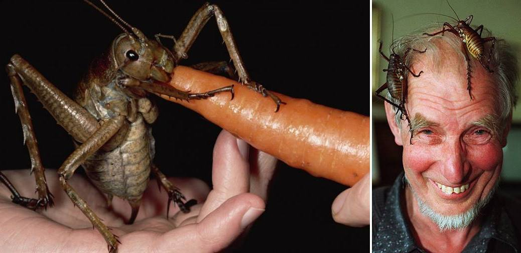 The Giant Weta