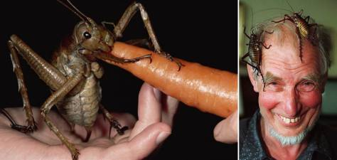 The Giant Weta - the heaviest insect on Earth