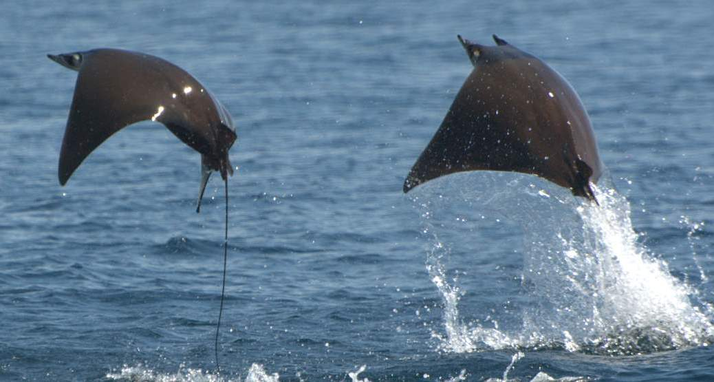 Mobula rays breaching (featured)