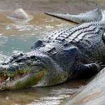 World's Top 5 Largest Crocodiles Ever Recorded