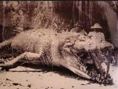Krys Crocodile