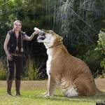 World's Largest Living Cat: Hercules, the liger (video)