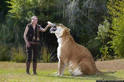 Hybrid big cats - Hercules, the liger