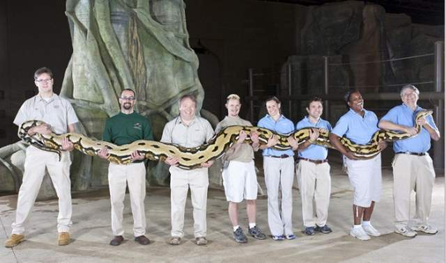 Fluffy, the reticulated python